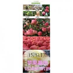今 日 今年膜袋红富士苹果批发行情资讯