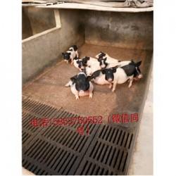藏香猪养殖场山东龙口市周边有卖小巴马香猪