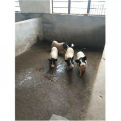藏香猪养殖场江西抚顺市周边巴马香猪养殖场