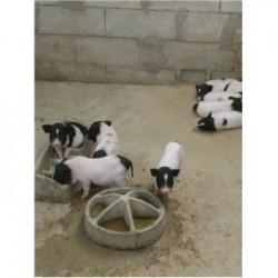 藏香猪养殖场辽宁北票市周边巴马香猪养殖基