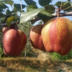 红梨苗    1公分早酥红梨苗报价   山东早酥