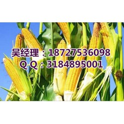 收购玉米的单位_收购玉米_民发养殖