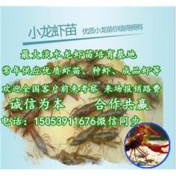 河口哪里有品种好的虾苗卖—淡水龙虾养殖技