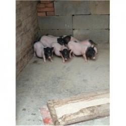 藏香猪养殖场广东吴川市周边哪里有卖小巴马