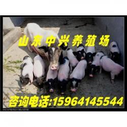 长沙巴马香猪养殖场孝感巴马香猪养殖场