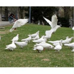供应广场鸽