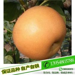 梨苗全红梨苗种植密度
