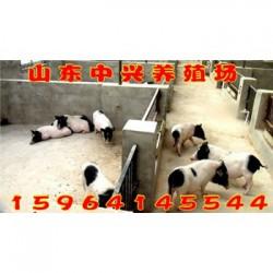 扬州巴马香猪养殖场韶关哪里有卖巴马香猪的