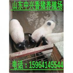 菏泽巴马香猪养殖场晋城大型巴马香猪养殖基